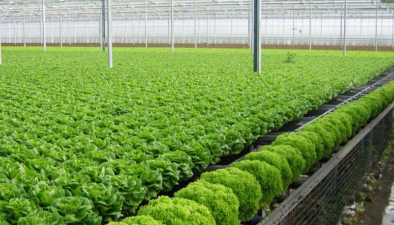 Hình ảnh trồng rau sạch tại Nhật Bản