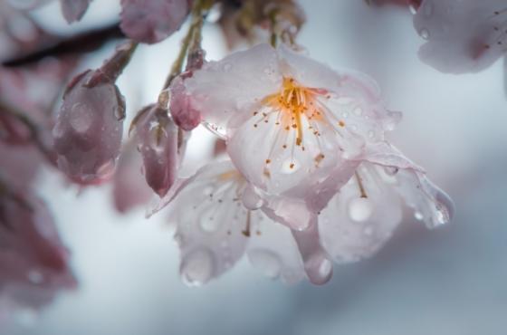 Sương đọng lại trên cánh hoa Anh Đào