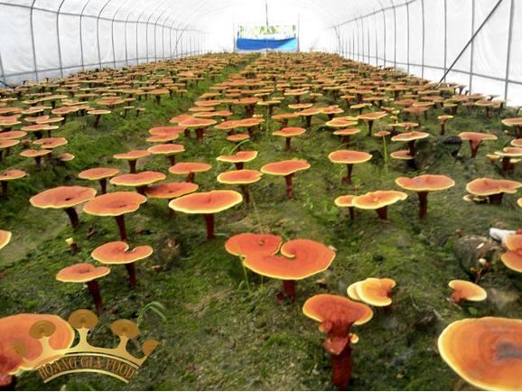 Tuyển nữ làm trồng nấm tại Nhật Bản đơn HOT