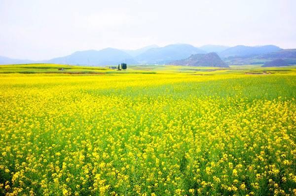 Trồng hoa cúc tại Nhật Bản