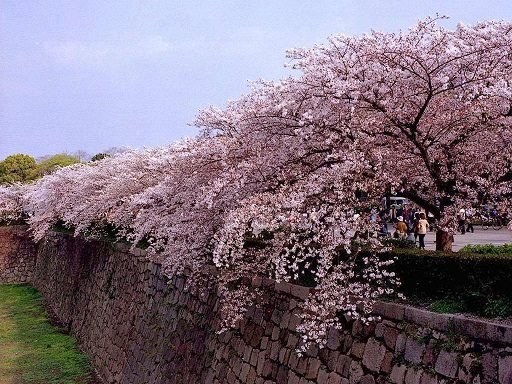 Mùa hoa anh đào nở hút hồn khách du lịch