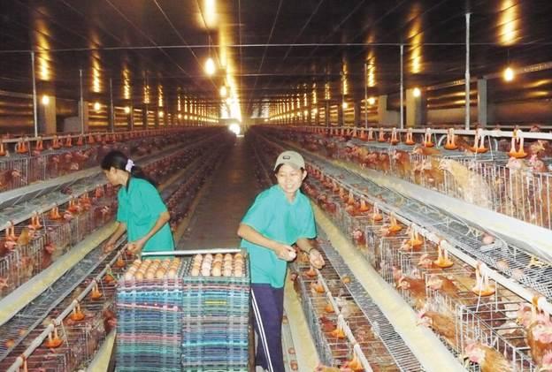 Đơn hàng nông nghiệp Nhật Bản - công việc nhặt trứng gà