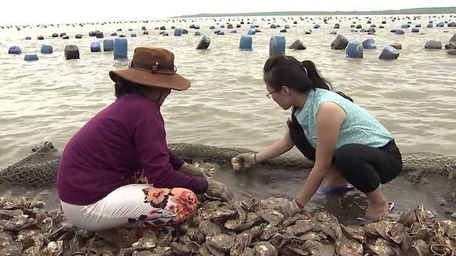 Thực tế công việc thu hoạch hàu ở biển