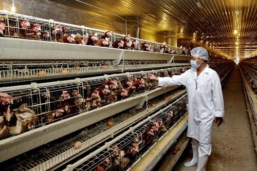 Lao động Nhật Bản - Đơn hàng Nông nghiệp chăn nuôi GÀ