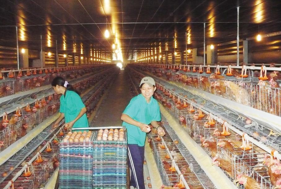Đơn hàng nông nghiệp Nhật Bản – nhặt trứng gà