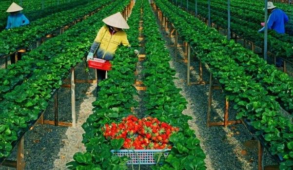 Đơn hàng nông nghiệp Nhật Bản – thu hoạch dâu tây
