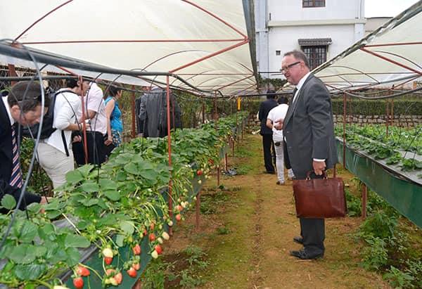 làm nông nghiệp dâu tây ở Nhật Bản