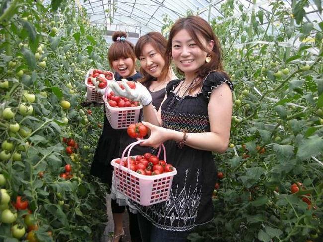 Làm nông nghiệp có thể là thu hái rau củ quả, phân loại, đóng gói cho siêu thị của Nhật