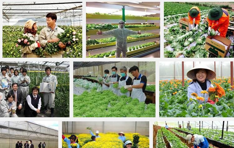 Một số công việc lao động Việt thường làm khi đi đơn hàng nông nghiệp Nhật Bản