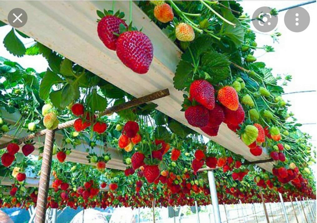 Hình ảnh vườn dâu tây Nhật Bản