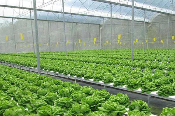 Tuyển 06 nam trồng rau sạch trong nhà kính