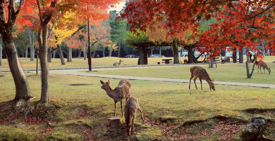 Tới thăm quan công viên Nara và những chú hươu đáng yêu nhé