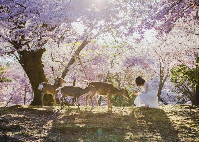 Oda dưới ánh nắng mùa hoa anh đào (ảnh minh họa)